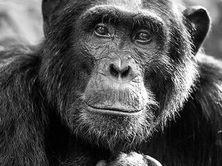 Chimpanzee in Uganda captured in Bwindi Impenetrable National Park.