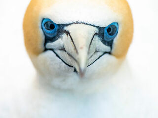 Face of gannets captured on Cape Kidnappers in New Zealand.