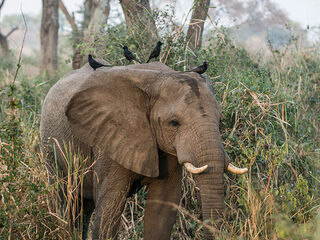 Young elephant in Uganda recorded in Queen Elizabeth National Park.