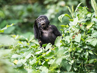 A gorilla cub in the jungle in Uganda, recorded in Bwindi Impenetrable National Park.