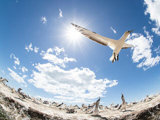 A gannet colony at Cape Kidnappers in New Zealand.